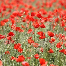 Road closures for Remembrance Parade